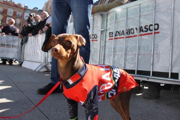 Cane in maglia Bahrei a Pamplona (Foto J.C. Faucher)