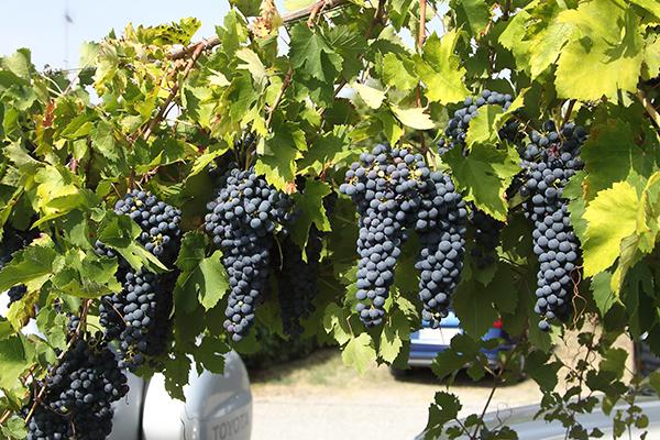 Grappoli d'Uva e Vigneti di Rovescala per il Bonarda (Kia)